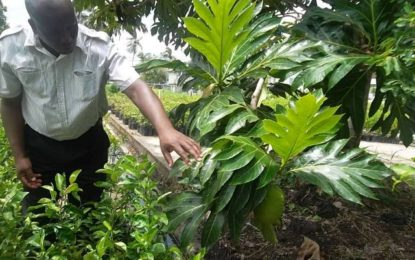 NAREI aiming to increase breadfruit cultivation