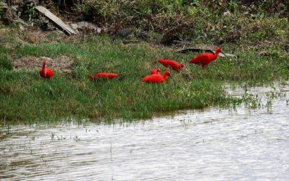 Guyana's Scarlet Ibis