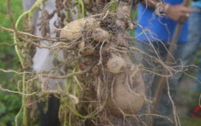 Irish Potato Pilot project showing favourable progress