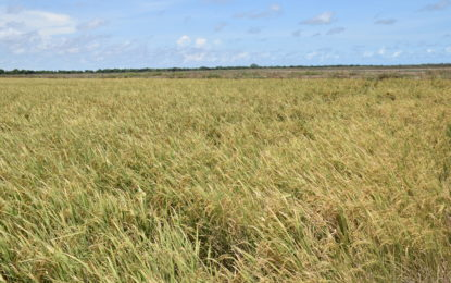 Minister Trotman to seek emergency intervention for Region Two rice farmers