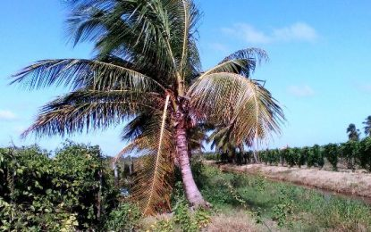 Vandalism of Coconut Trees at Hope Estate worrying  -Minister Holder