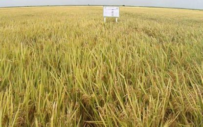 Black Bush farmers reap bumper rice harvest