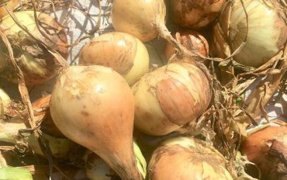 Corentyne farmer harvests largest crop of onions – 450 pounds in a single haul
