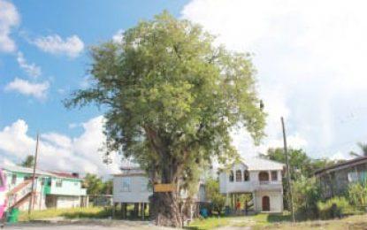 Bagotville Tamarind tree, a daily reminder of Emancipation