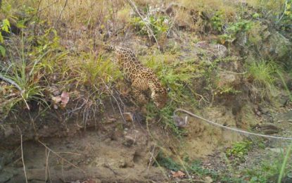 Guyana signs on to new roadmap to save the jaguar