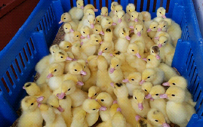 GLDA imports 1400 ducklings for breeding stock