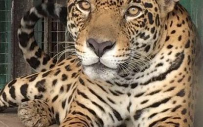 Think like a Jaguar, do purposeful reporting to protect Guyana's wildlife