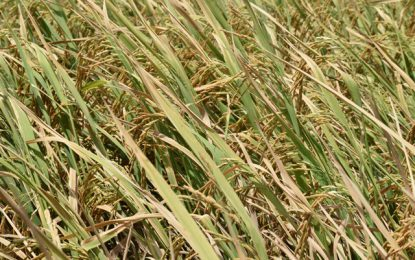 3% Increase in Rice Production! – Mid-Year Report states